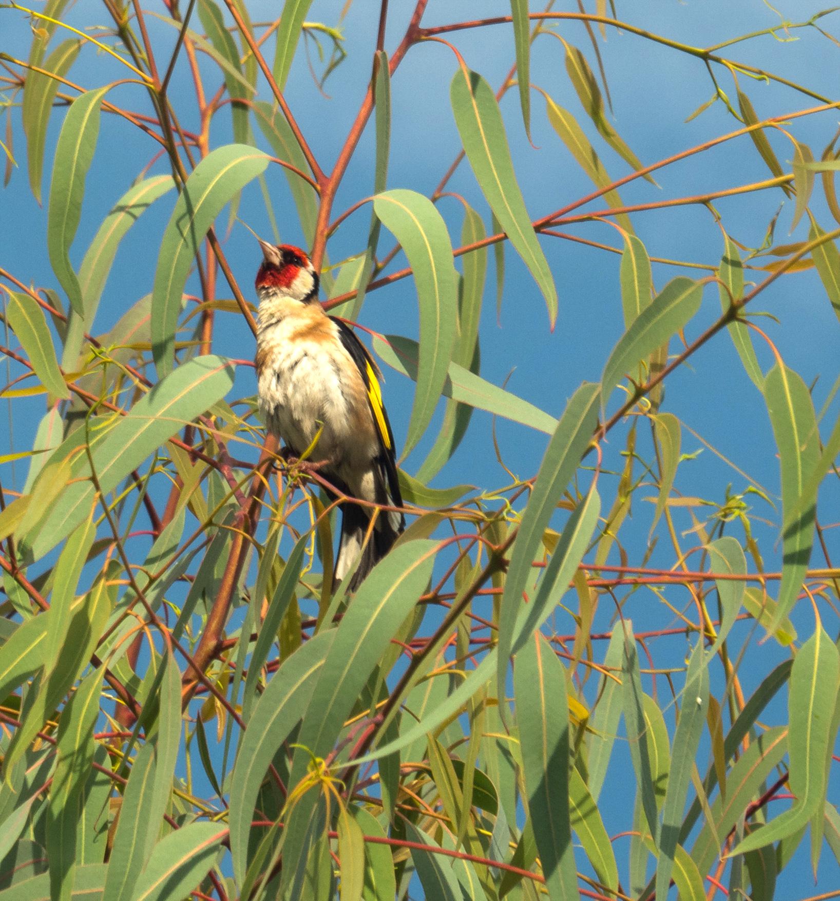 goldfinch-by-bob