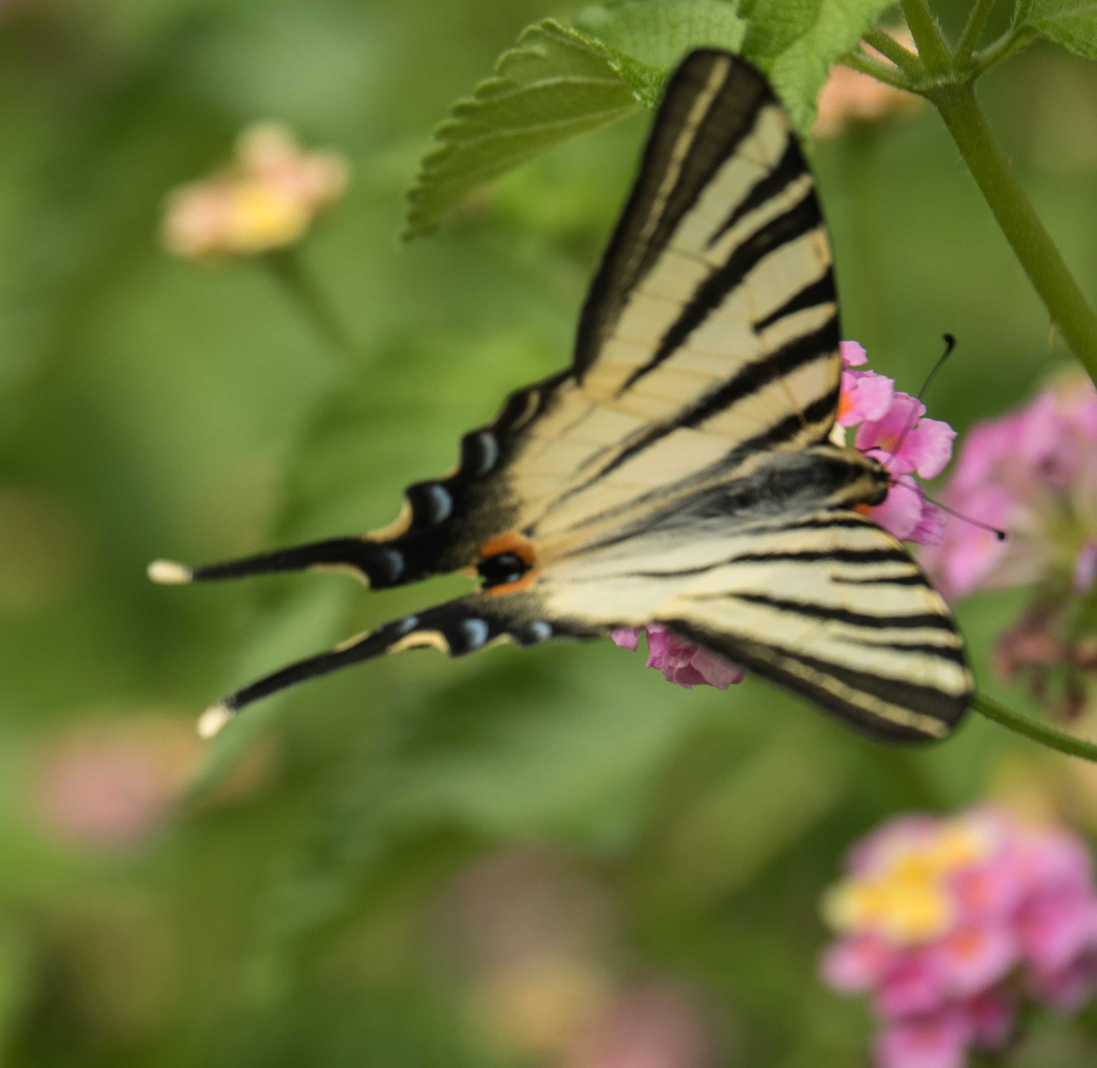 swallowtail-by-bob