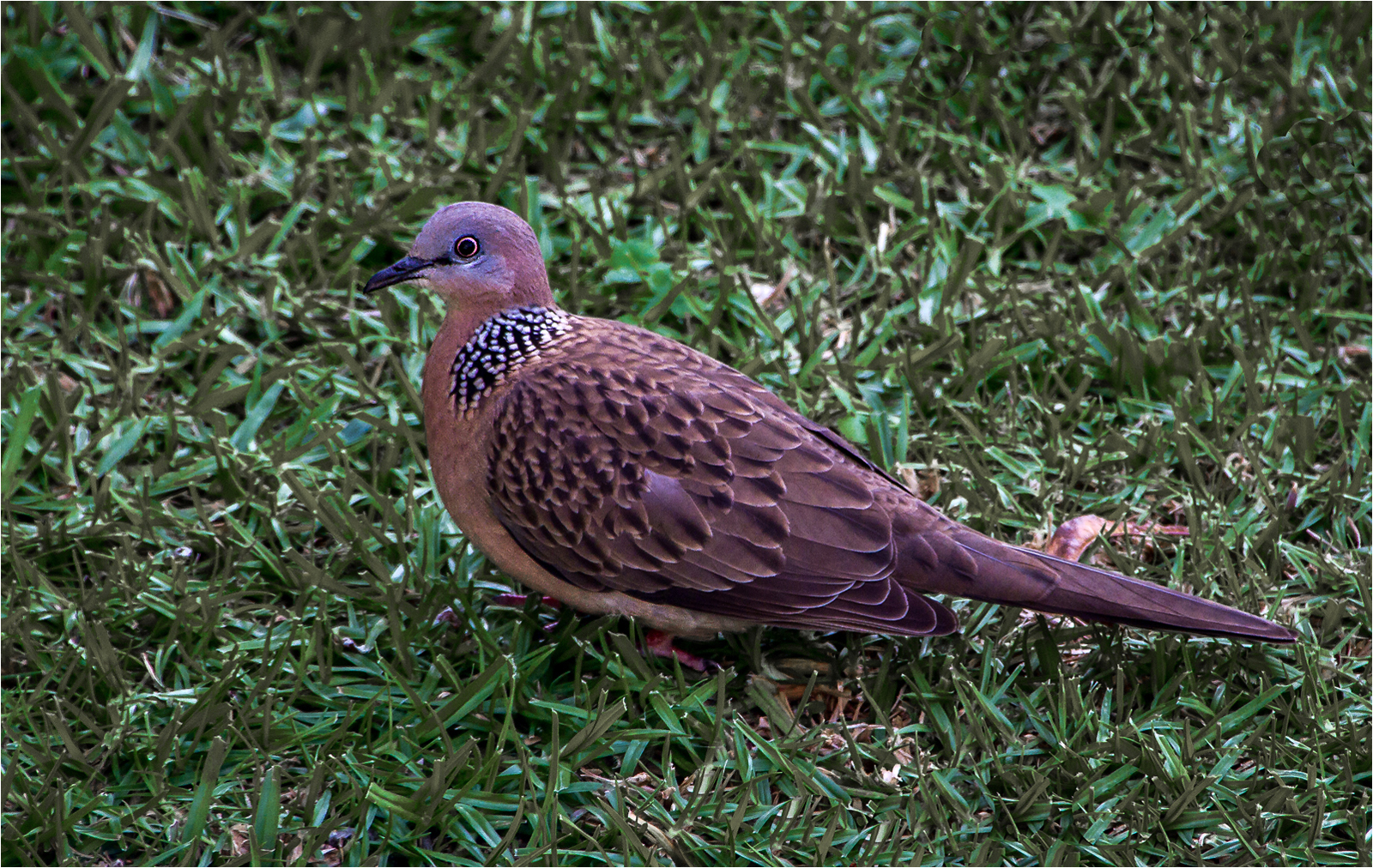 spotted-dove-by-alan-goldby