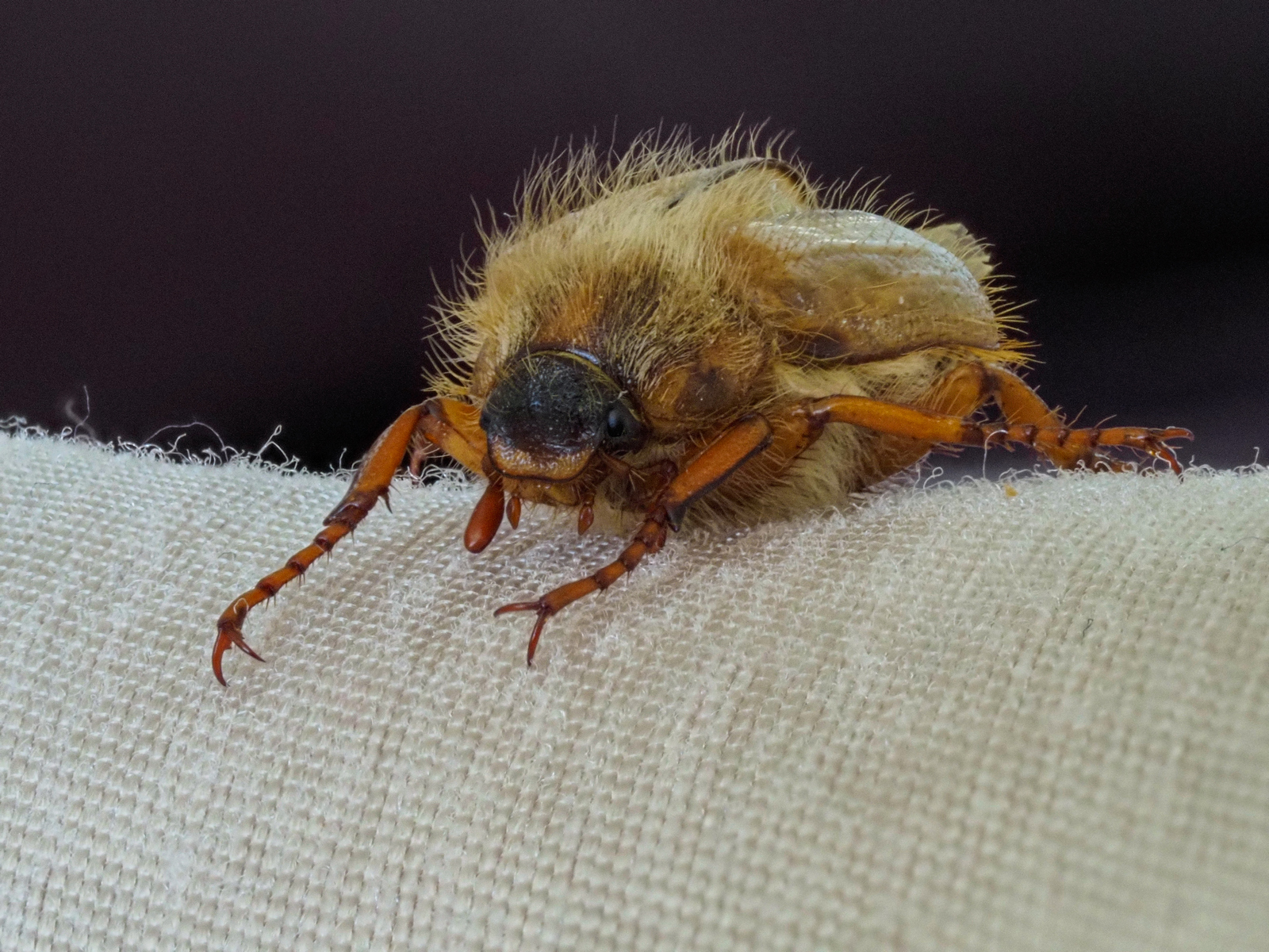 summer-chafer-beetle-by-peter-darby