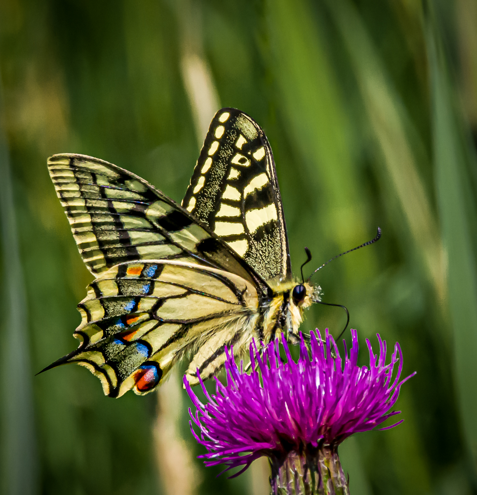 swallowtail-butterfly-by-chris-frost