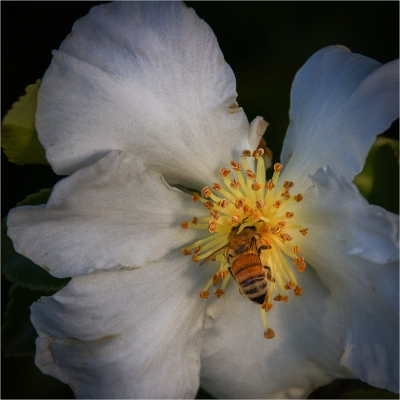 honey-bee-at-work-by-alan-goldby