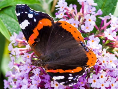 red-admiral-by-mark-mingay.