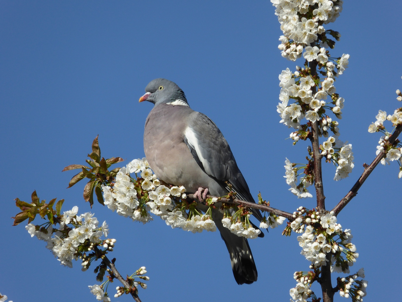 wood-pigeon-in-cherry-blossom-by-janet