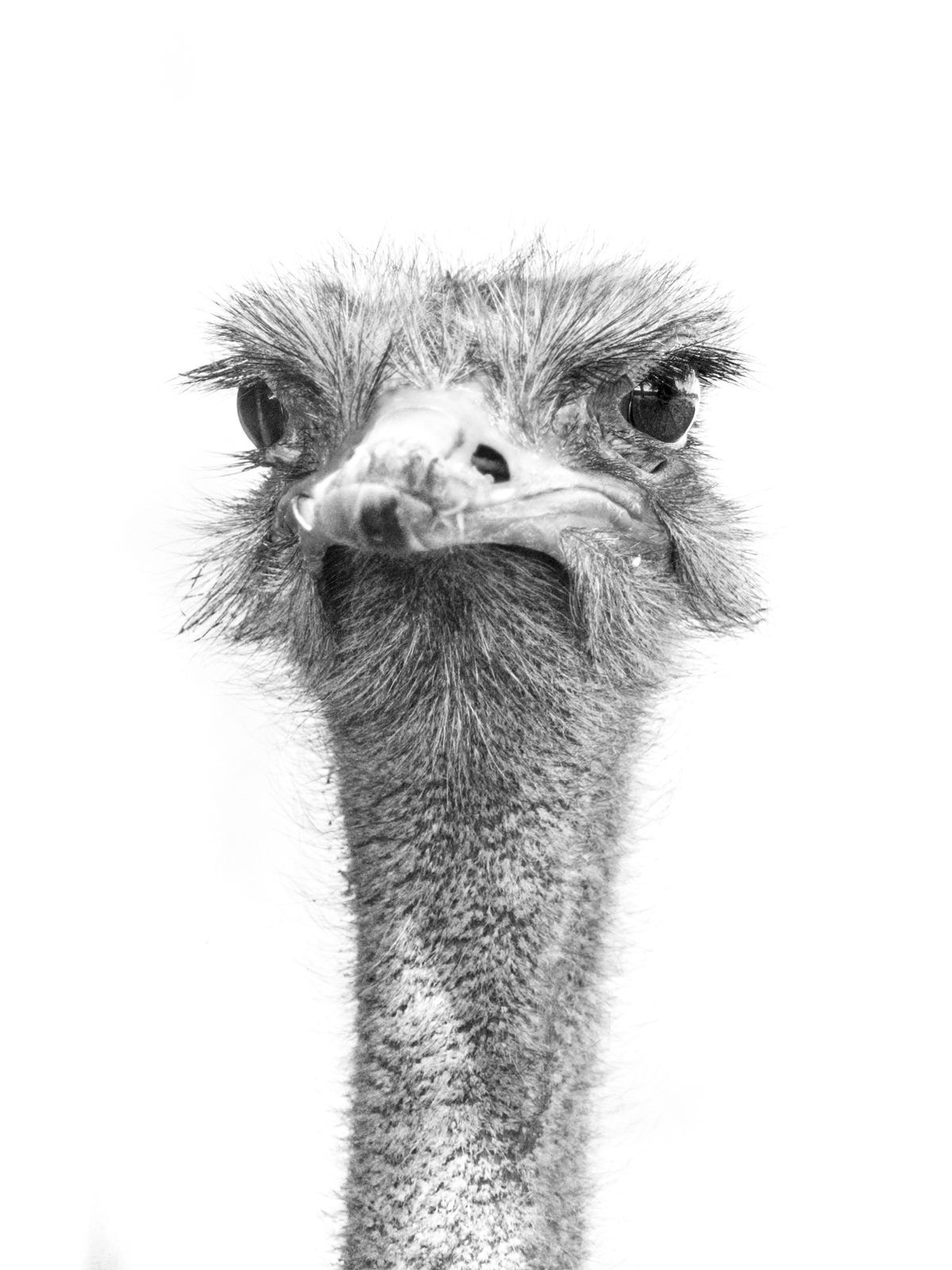 ostrich-by-chris-frost