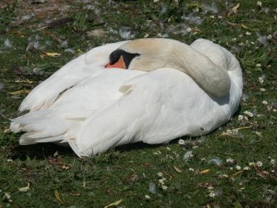 swan-resting-by-bob