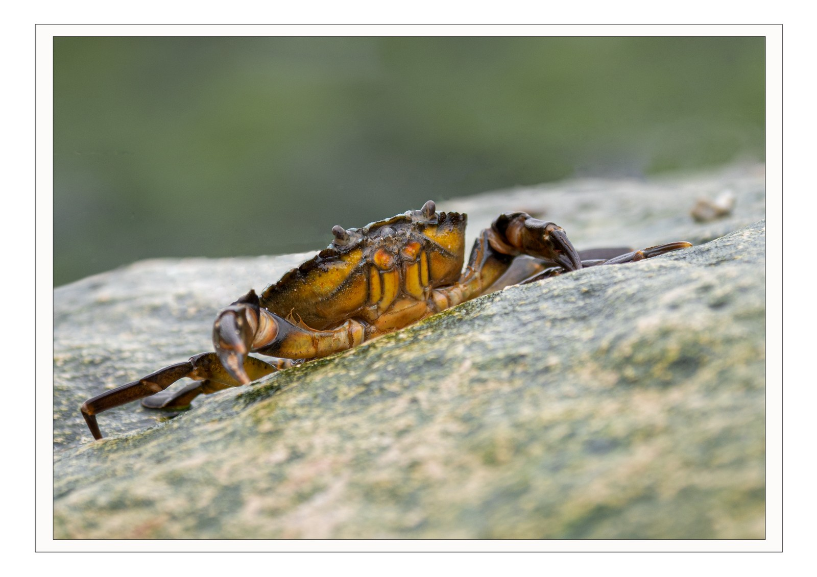3rd PRINT crab-by-pater