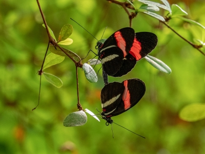 mating-butterflies-by-peter-darby