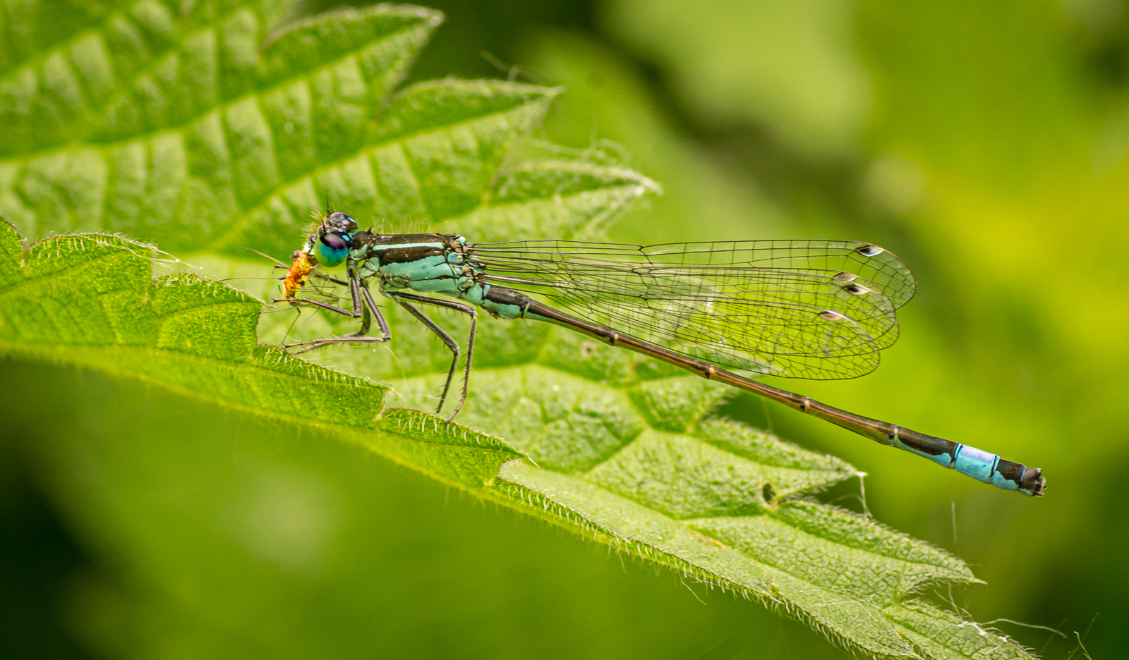 1st - blue-tailed-damselfly-at-lunch-by-chrisfrost