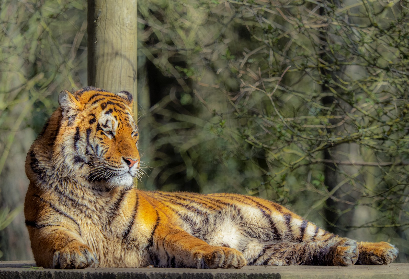 sleeping-tiger-by-peter-darby