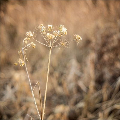 water-parsnip-i-think-by-roy-backhouse