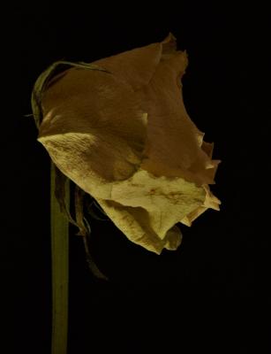 dead-rose-by-paul-waite.