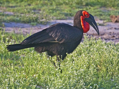 southern-ground-hornbill-by-alan-goldby