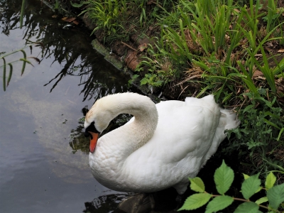swan-on-bank-by-nick