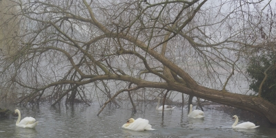 swans-in-the-mist-by-nick
