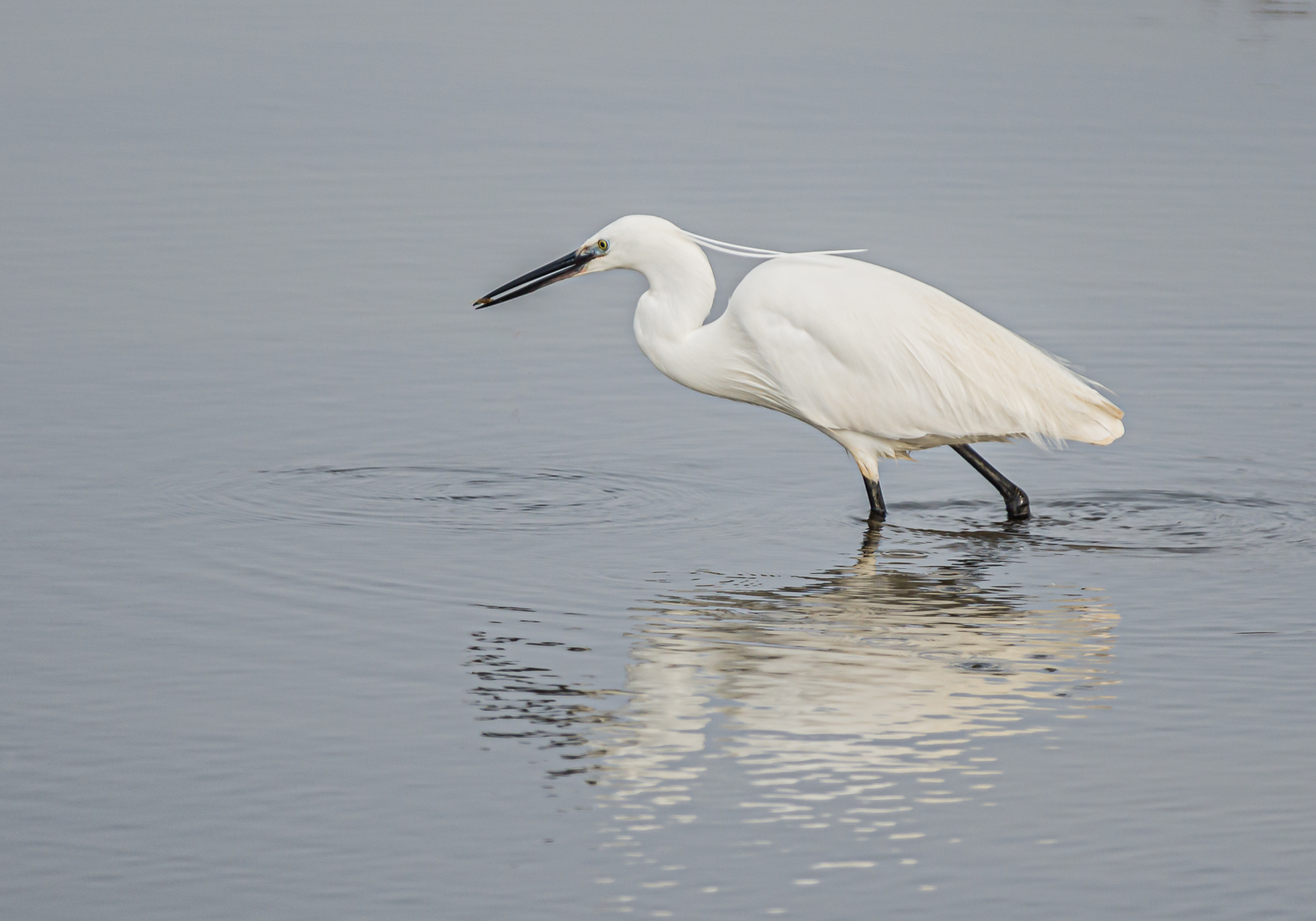 little-egret-by-chrisfrost