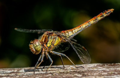 common-darter-by-chrisfrost