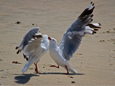 red-billed-gulls-fighting-by-alan-goldby