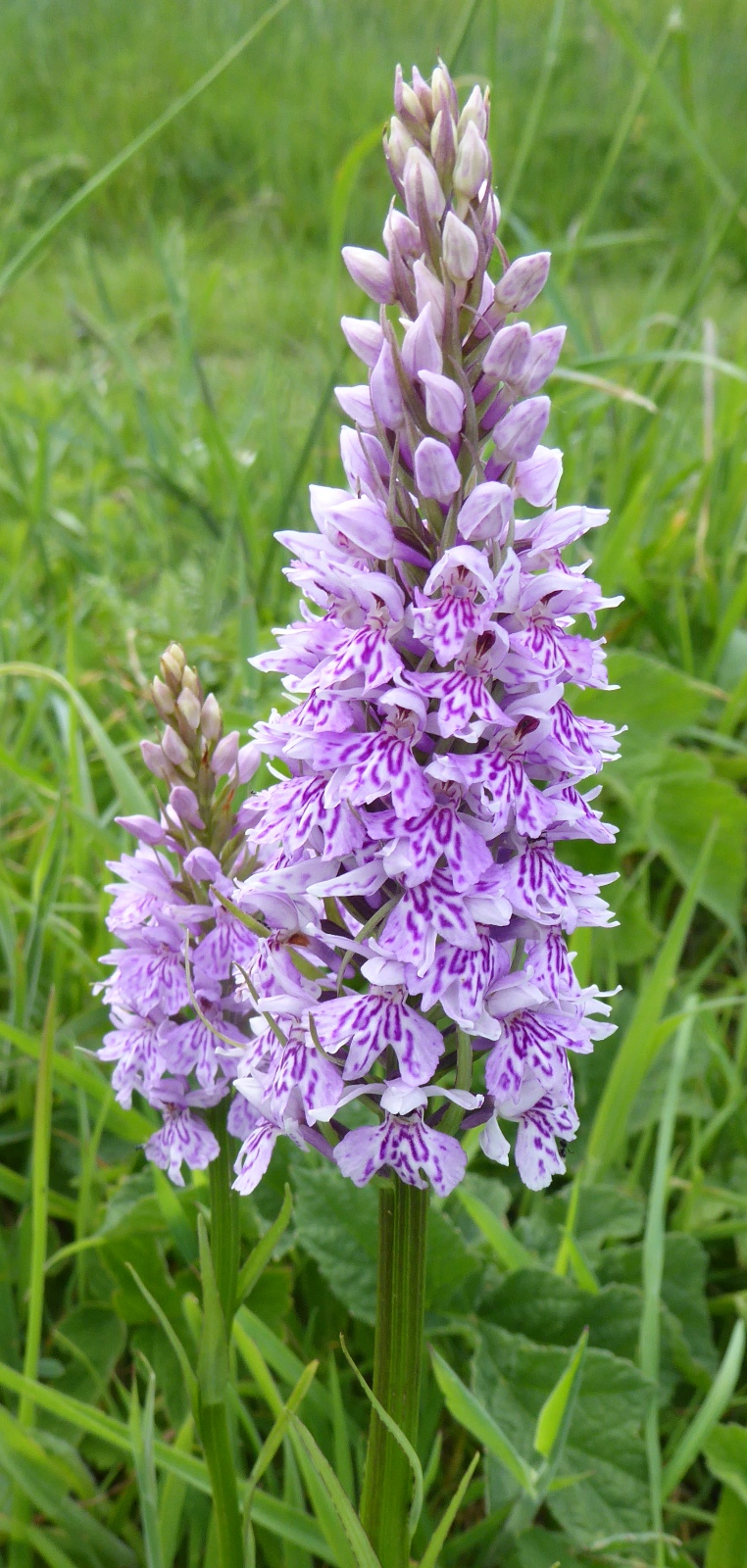 wild-orchid-by-janet