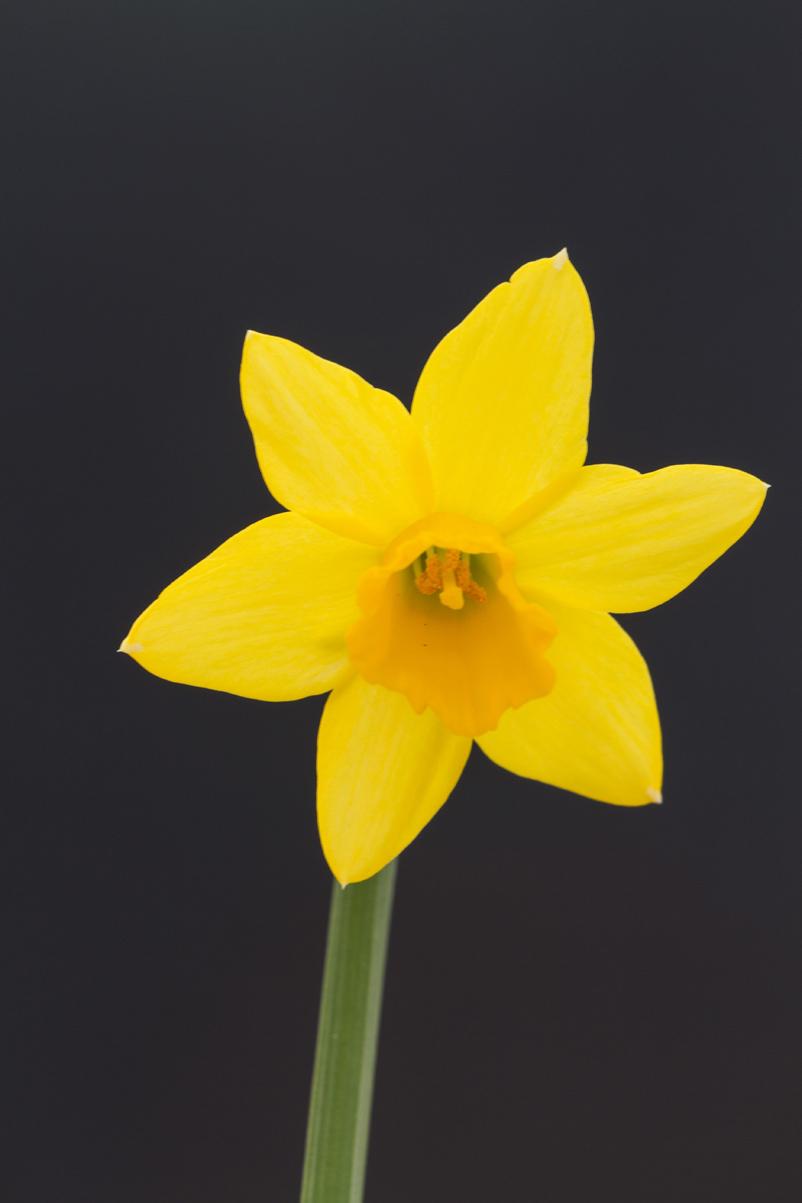 daffodil-by-bob