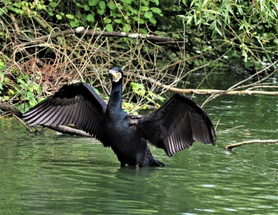 cormorant-drying-off-by-nick