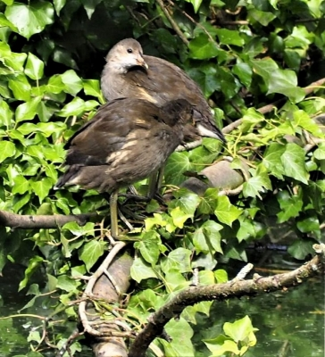 young-moorhen-by-nick