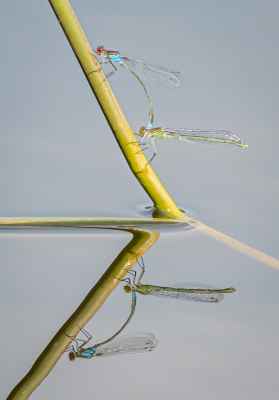 reflective-red-eyed-damselflies-by-chrisfrost