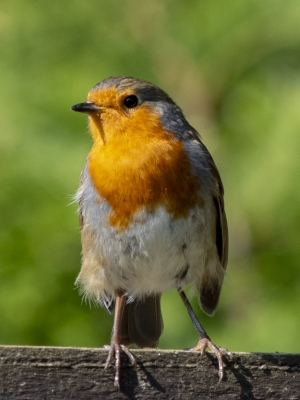 robin-by-mark-mingay