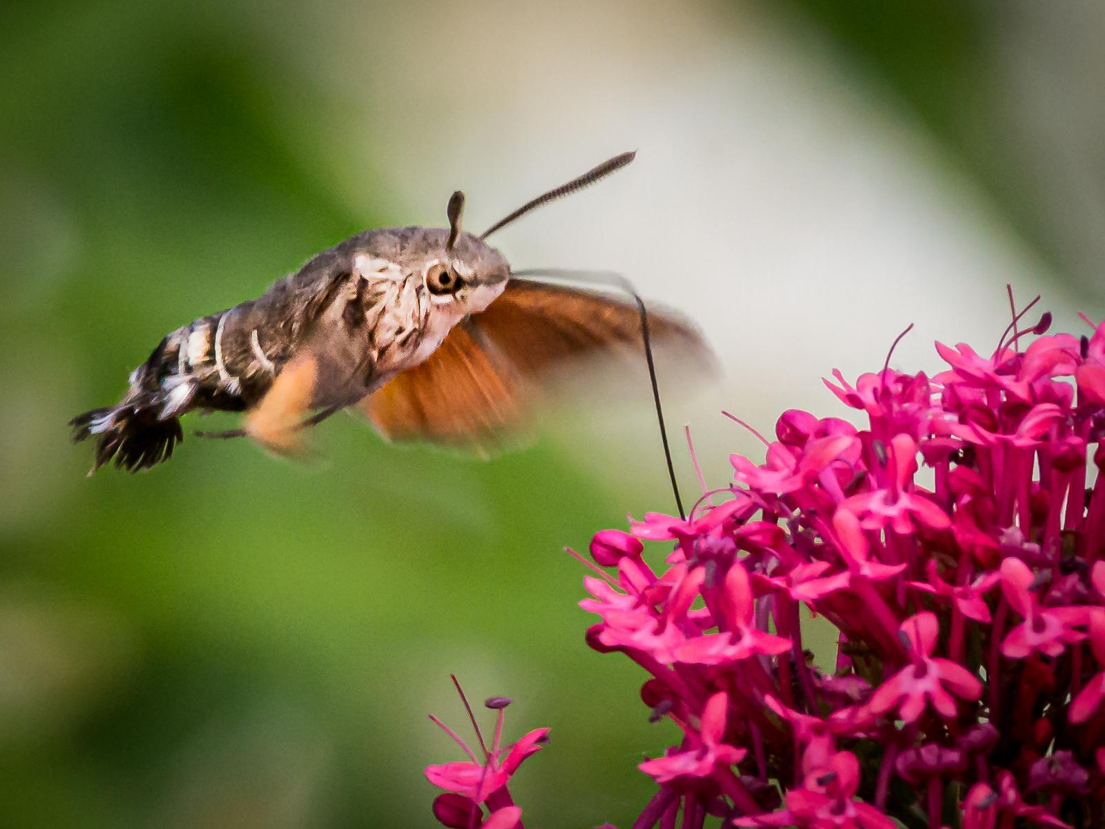 humming-bird-hawk-moth-by-chrisfrost