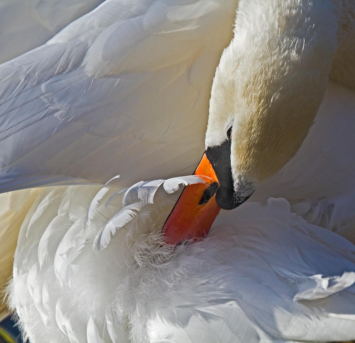 mute-swan-2-by-alan-goldby