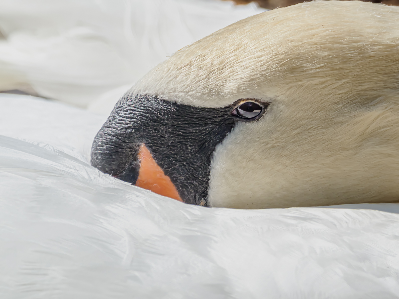mute-swan-by-chris-frost