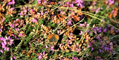 small-copper-by-paul-waite