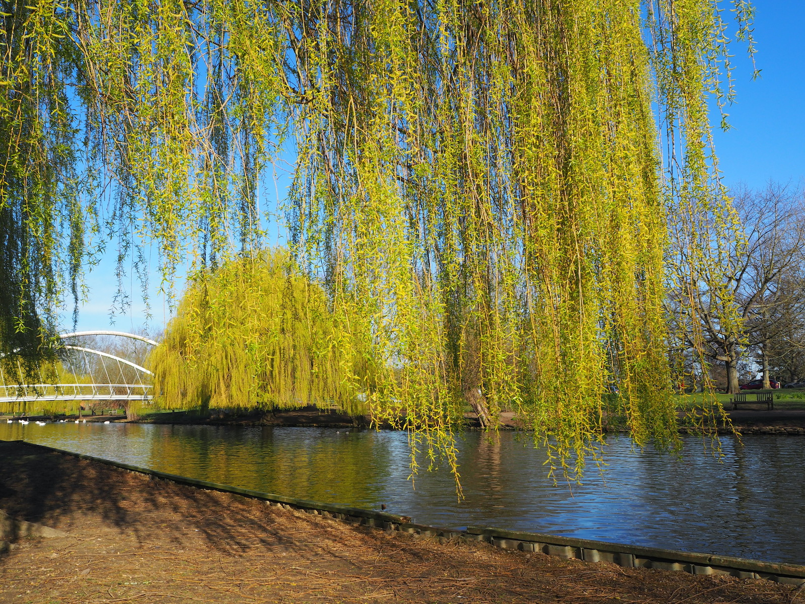 weeping-willows-in-spring-by-janet