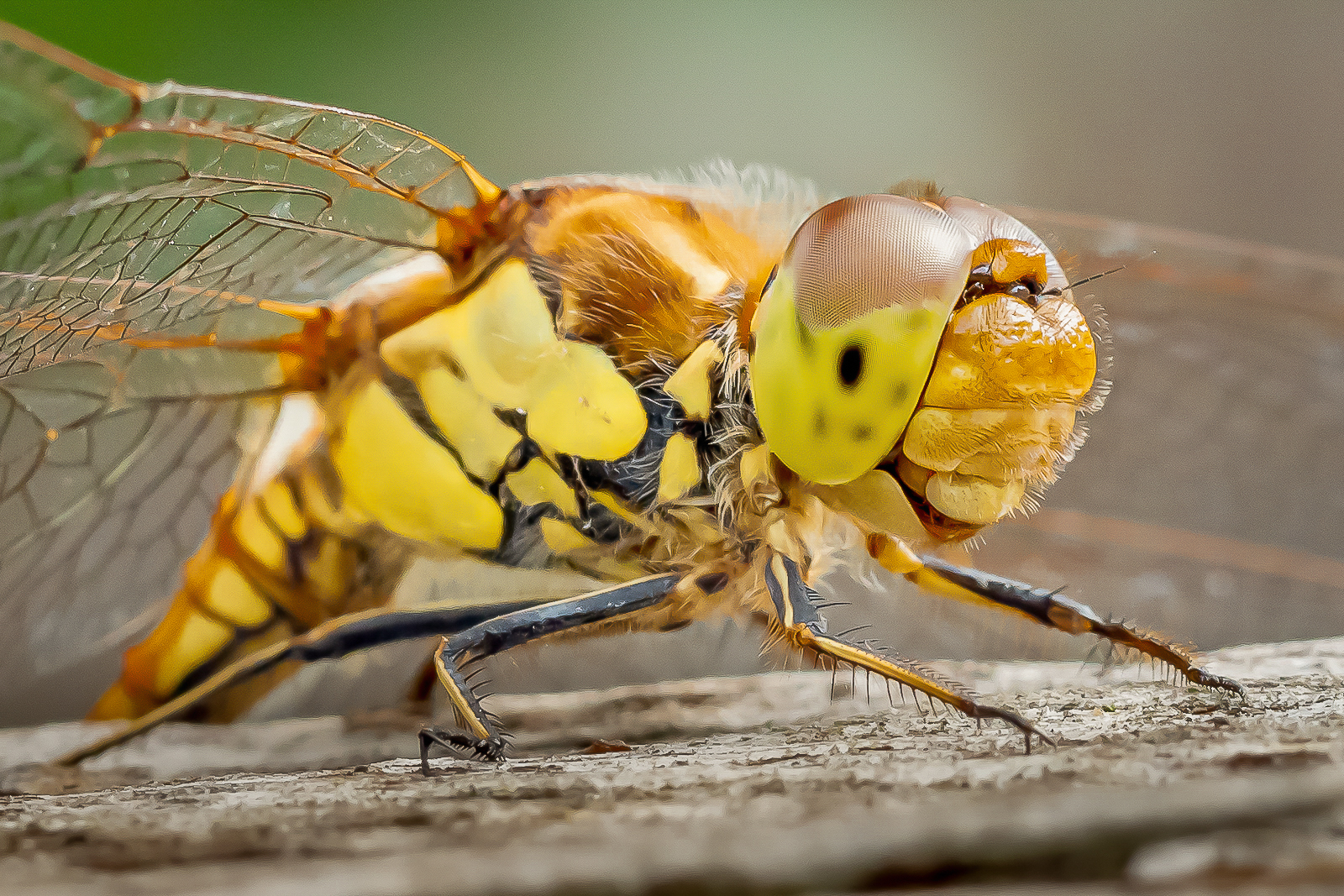 common-darter-dragonfly-by-chris-frost
