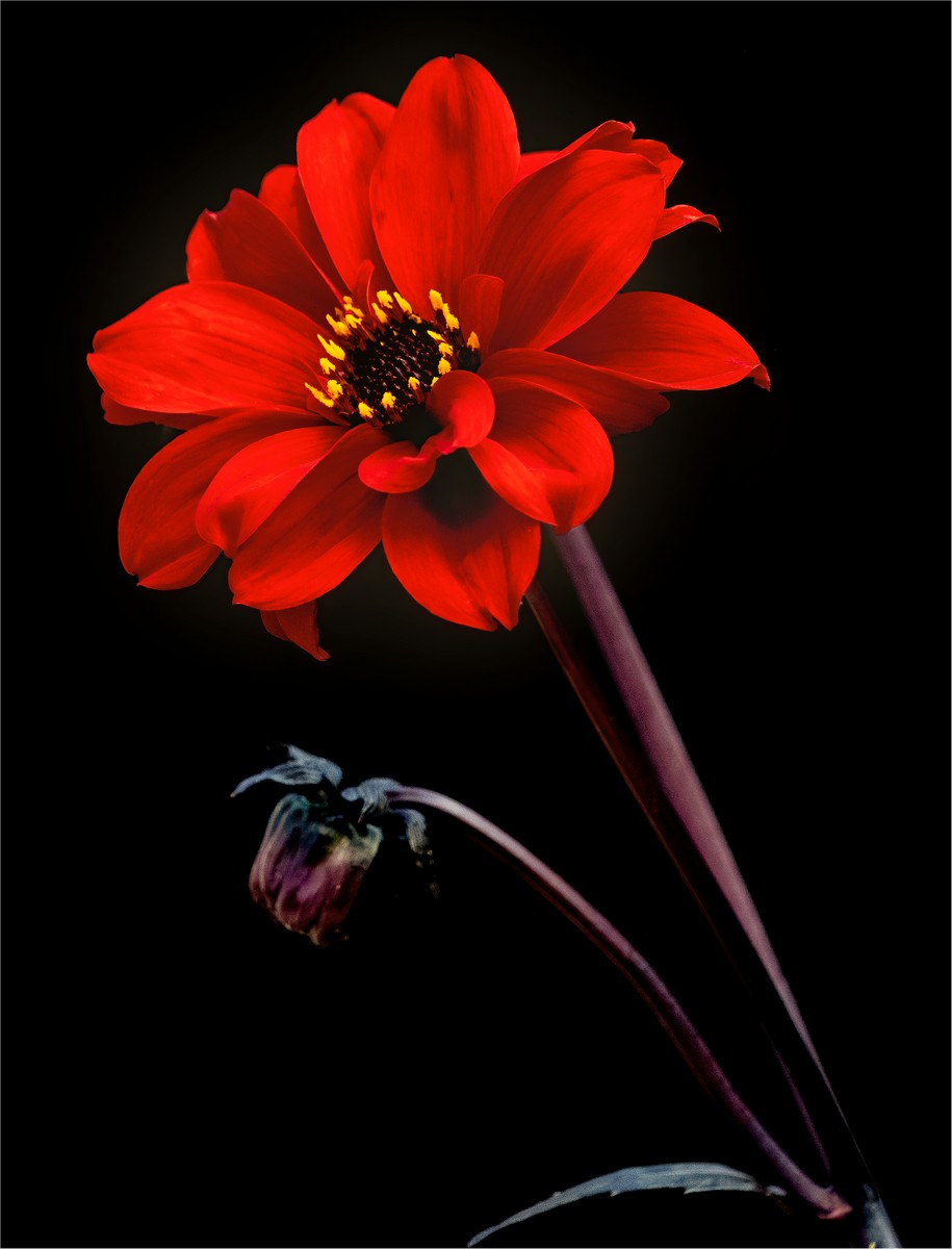 dahlia-by-peter-darby