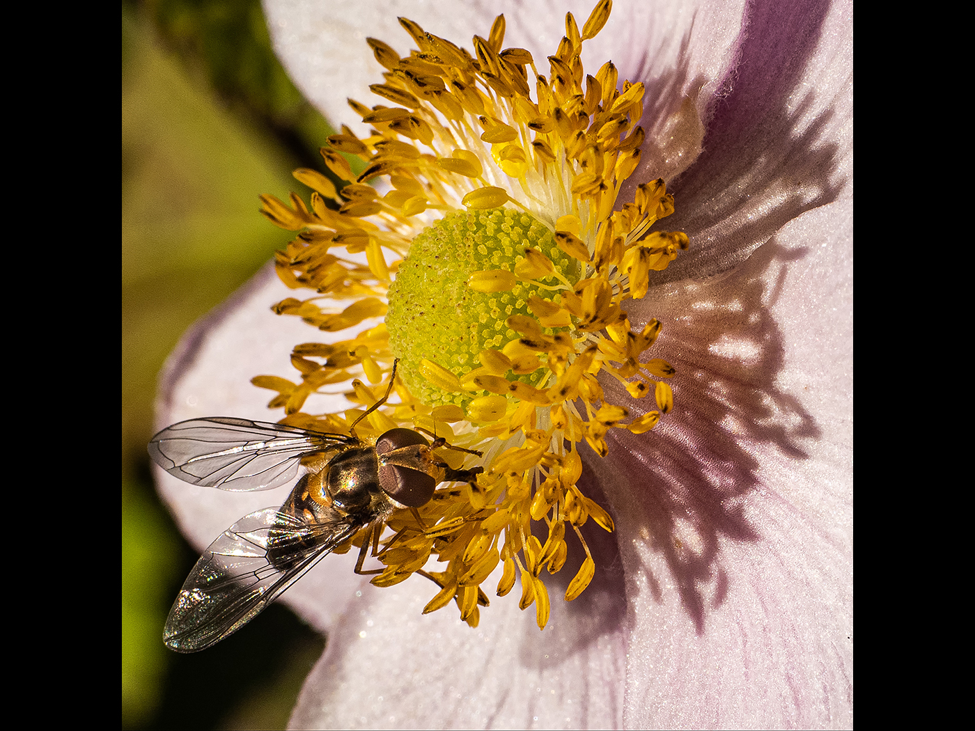 feeding-hover-fly-by-roy