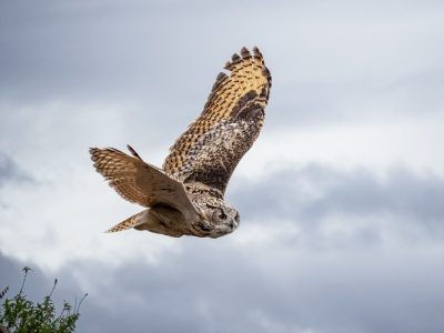 2nd owl-hunting-food-by-peter-darby.