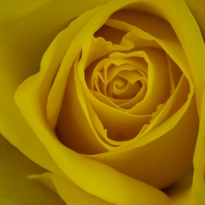 3rd - yellow-rose-by-peter-darby