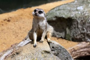 Meercat by Nick - 17