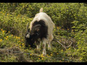 Goat by Bob