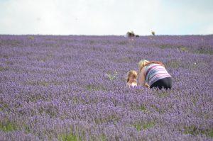 Picking Lavendar by Julie