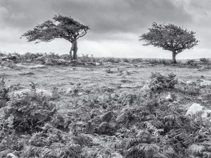 Windswept on Dartmoor by Roy Backhouse