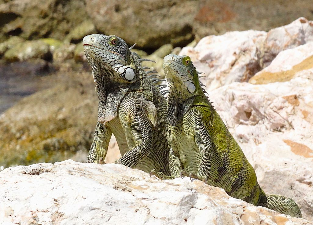 This image has an empty alt attribute; its file name is Carabean-iguana-by-Gordon-1024x737.jpg