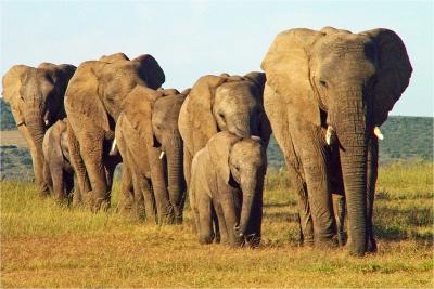 african-elephants-by-alan-goldby