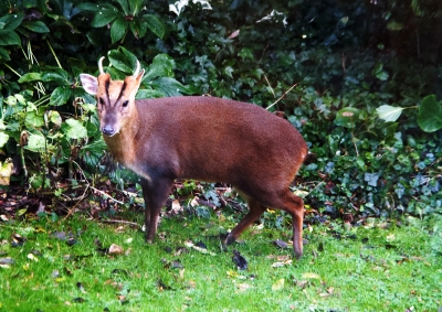 muntjac-in-the-garden-by-laurie