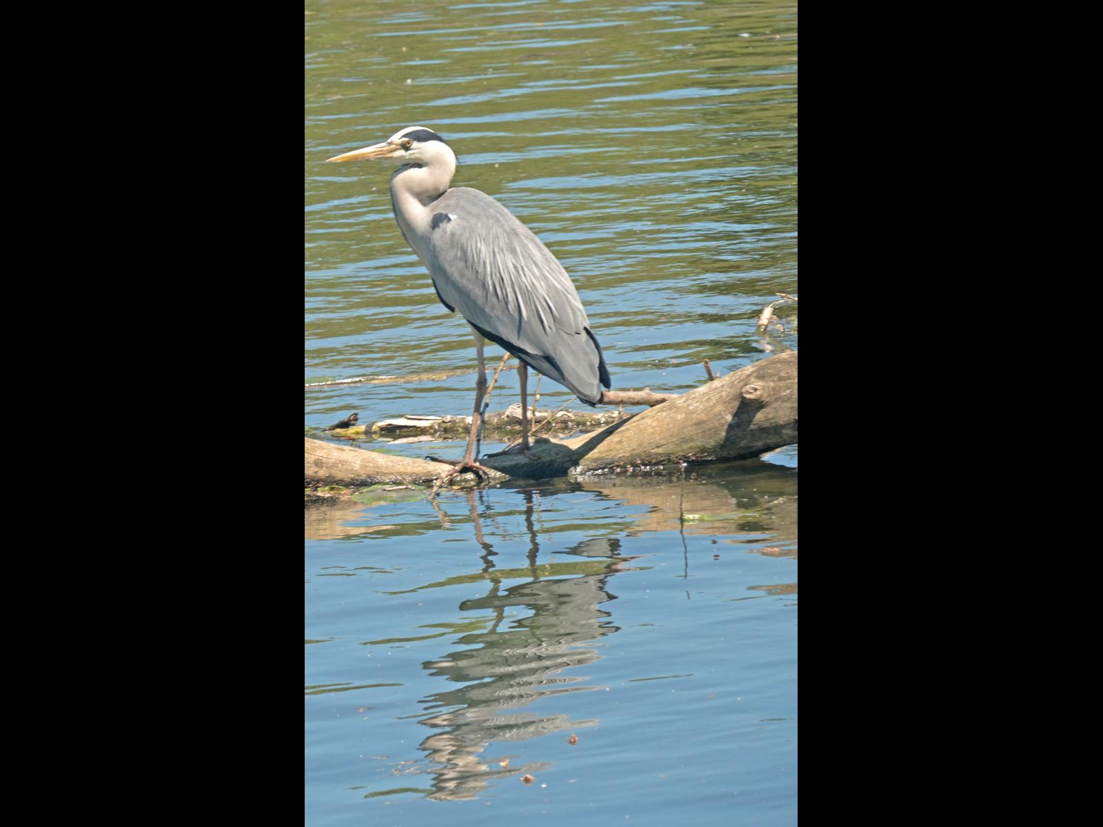 grey-heron-by-bob