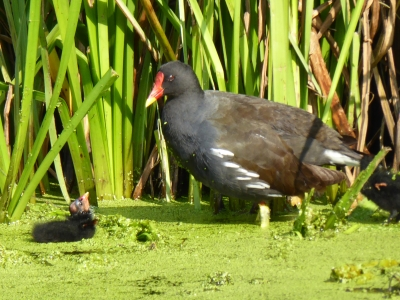 moorhen-and-chick-by-janet