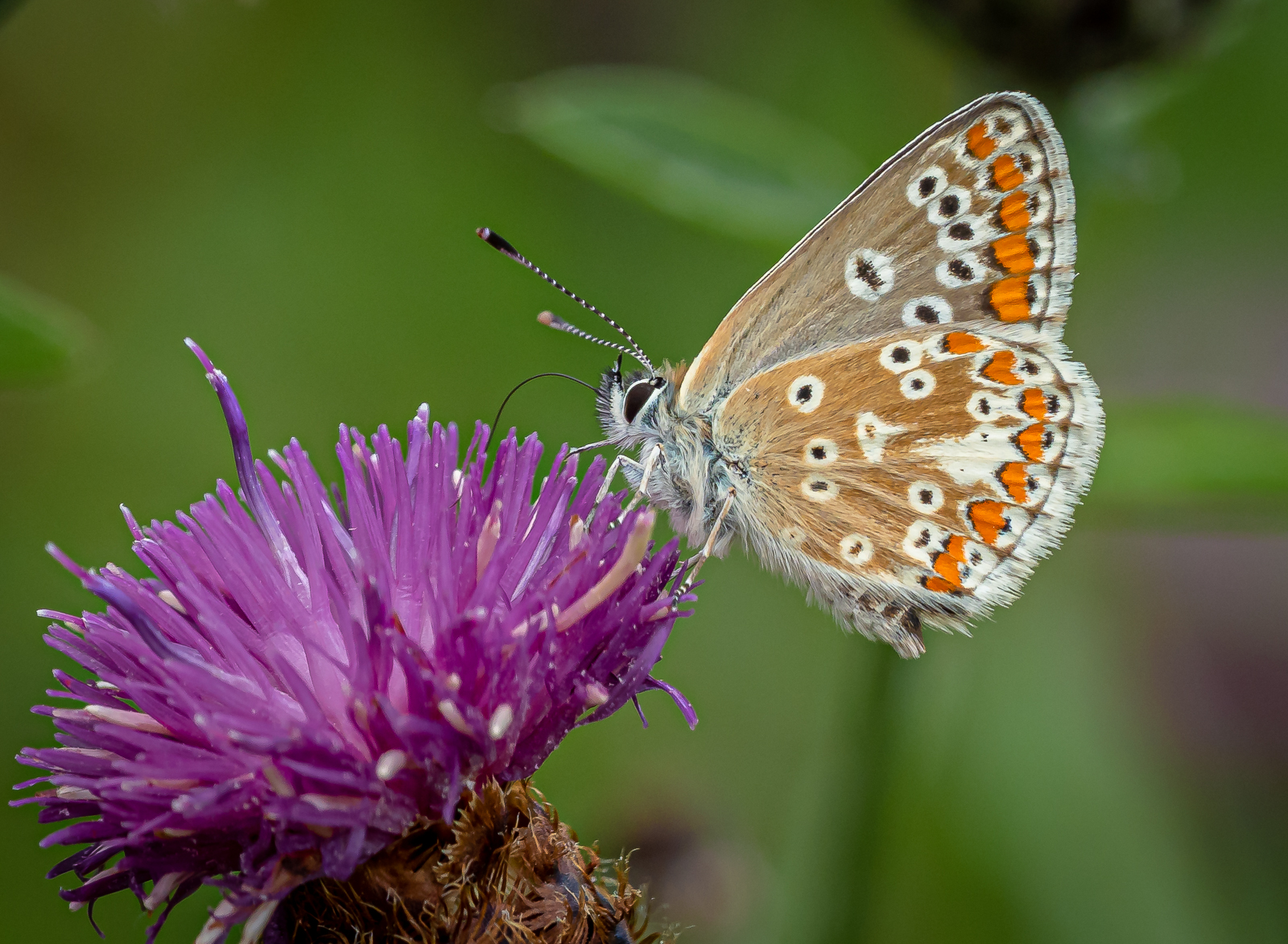 brown-argus-butterfly-by-chrisfrost