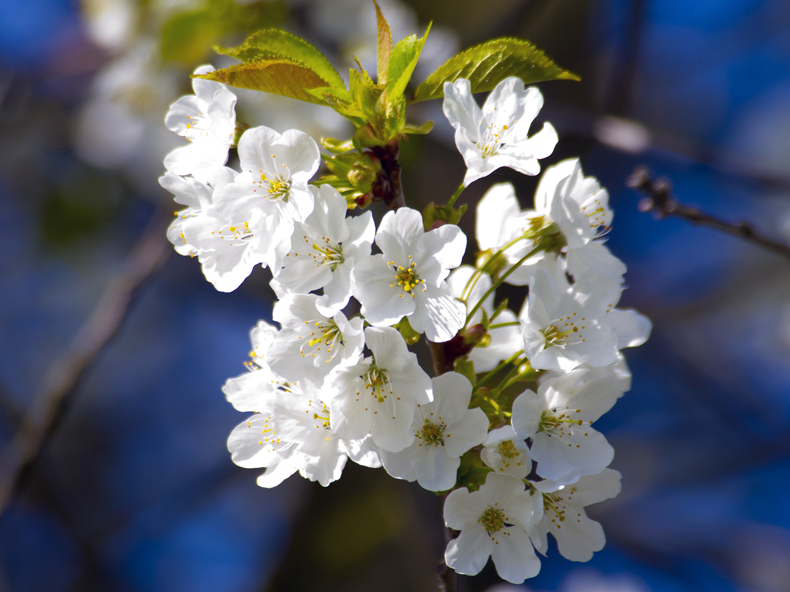 cherry-blossom-by-mark-mingay
