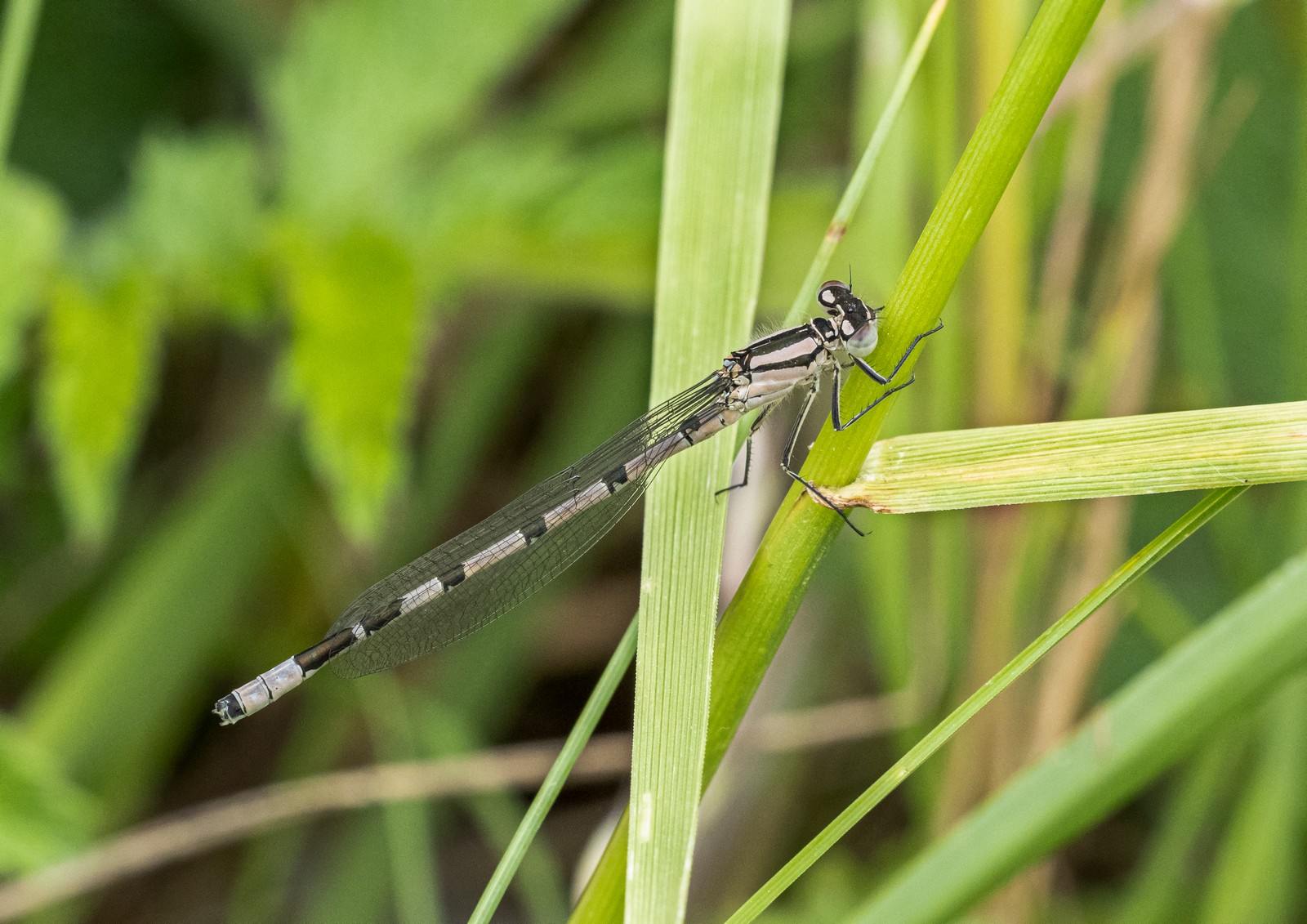 damselfly-by-peter-darby
